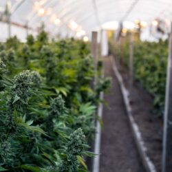 Marijuana grow farm