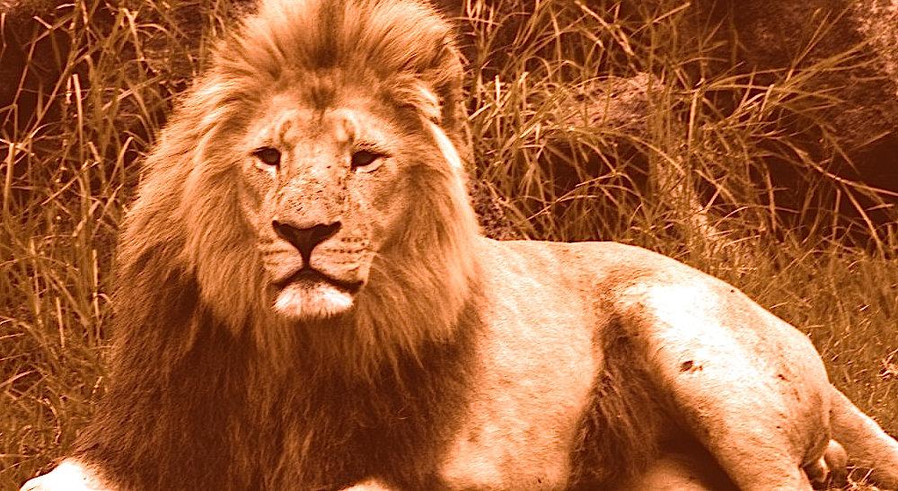 lion_edited