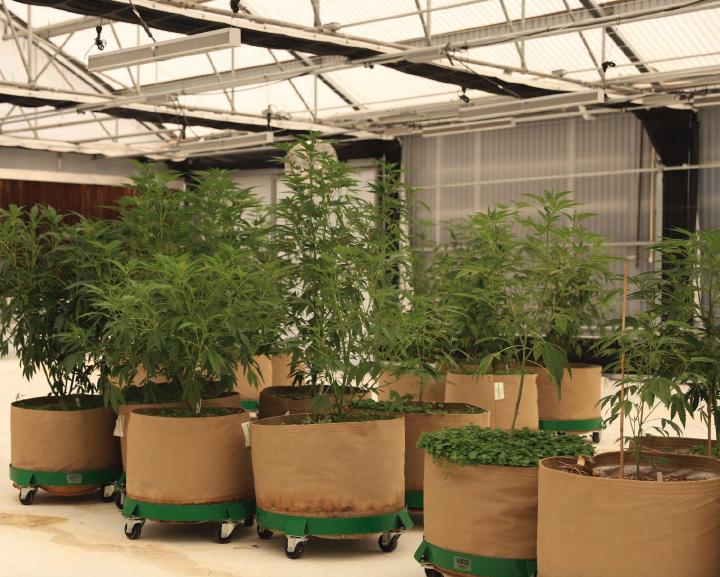 indoor cannabis plants